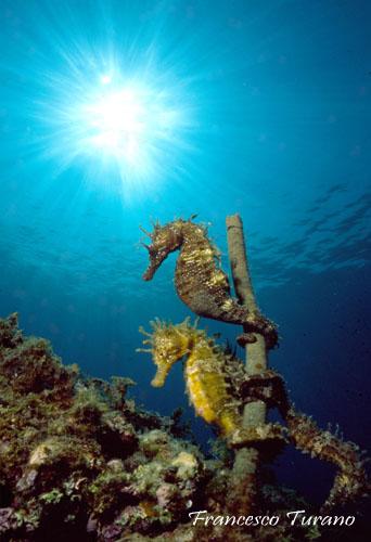 Cavallucci calabresi fotogalleria cose di mare for Foto cavalluccio marino